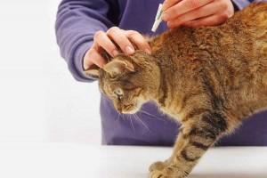 Комплексный подход в борьбе с блошиной инвазией и блошиным дерматитом у домашних кошек и собак